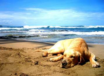 Dog Chilling At The Beach